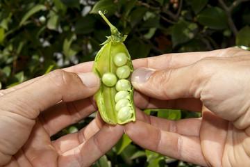 hands open a pea pod