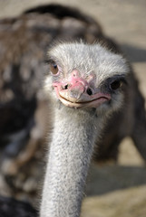 head of the ostrich