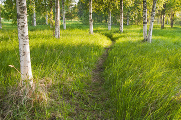 Garden Poster Birch Grove Sunlit path in the birch forest