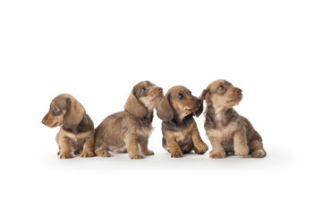 Dachshund puppies on white background