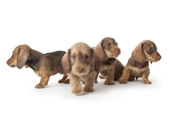Wire-haired dachshund puppies