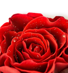 Single red rose bud