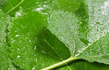 Fotoväggar - Green leaves background