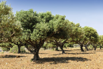 Photo sur Aluminium Oliviers Olive tree orchard near Kardamena