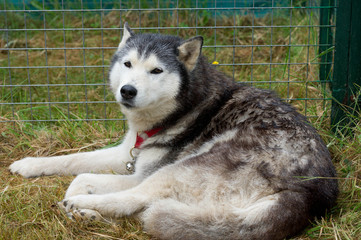 husky in the shelter