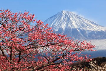 Mt. Fuji with Japanese Plum Blossoms