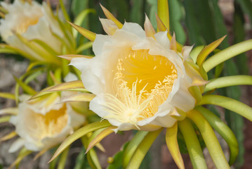 dragon fruit flowers in the gardens