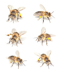 Honey bee (Apis mellifera) collection