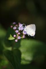 Azure on Lavender Lace