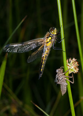 Dragonfly and larval case