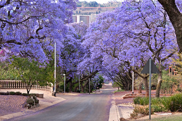 Garden Poster South Africa jacaranda trees