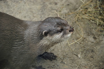 little otter in the zoo