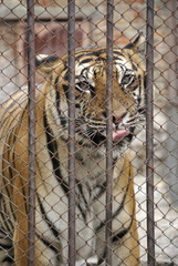 tiger in the zoo cage behind bars