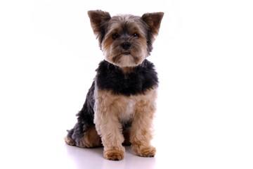 Hund Yorkshire Terrier sitzend
