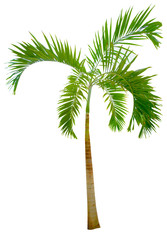 isolated green palm
