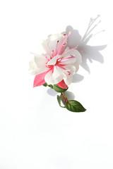 Fuchsie - Die Blüte