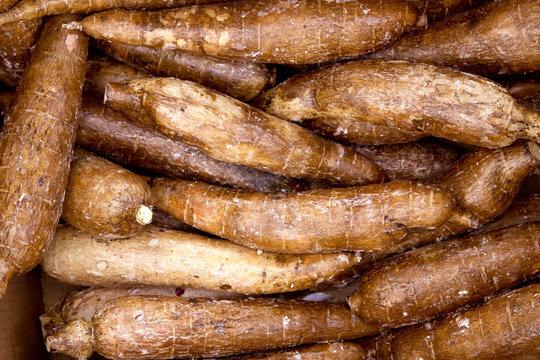 cassava yucca rhizomes vegatable food pattern
