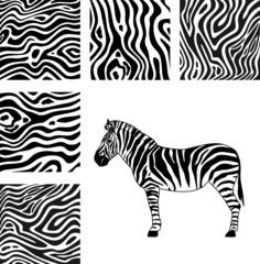 Zebra, texture of zebra