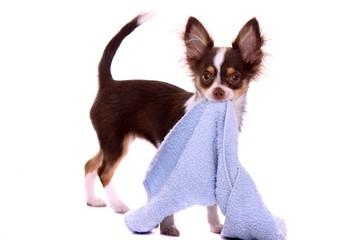Chihuahua Welpe spielt mit Handtuch