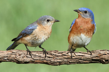 Fotoväggar - Pair of Eastern Bluebird