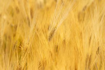 Fotoväggar - Wheat field