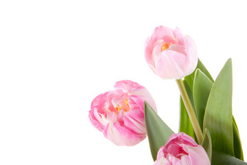 three beautiful light pink  tulips isolated over white
