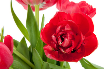 a close up of a bunch of red double tulips isolated over white