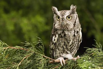 Papiers peints Chouette Eastern Screech Owl - Grey Phase
