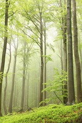 Keuken foto achterwand Bos in mist Spring beech forest