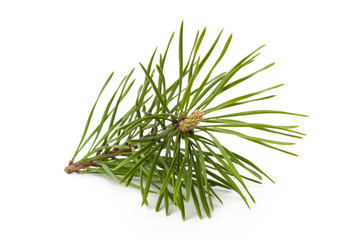 Closeup view of coniferous branch used in herbal medicine