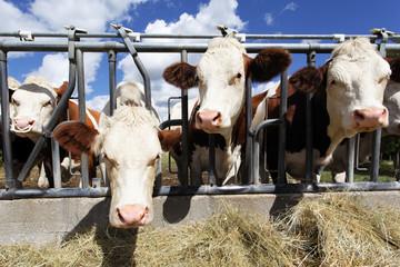 heads of cow in farmland in summer