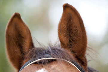 Ears of a brown horse with a few waterdrops