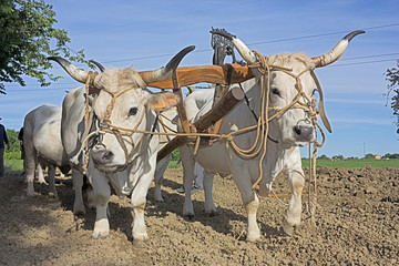 plowing with bullocks Wall mural