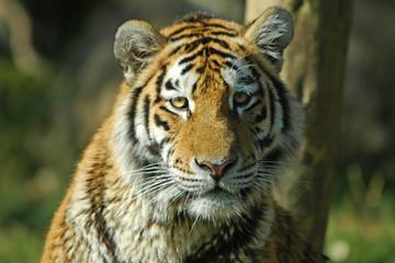 A tiger facing the camera