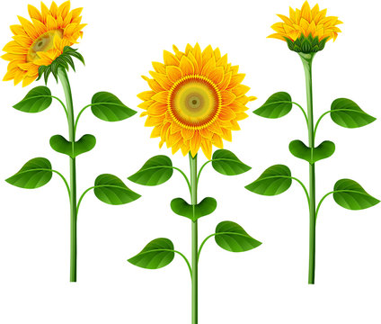 Collection of yellow sunflowers on the  white background.