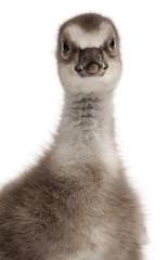 Close-up of Hawaiian Goose, Branta sandvicensis