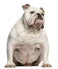 English Bulldog, 6 years old, sitting on white