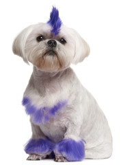 Shih Tzu with purple mohawk, 2 years old, sitting