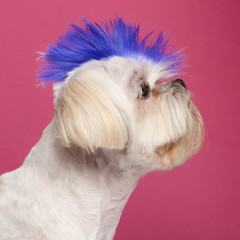 Close-up of Shih Tzu with blue mohawk, 2 years old