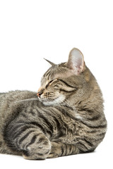 Cat Resting on a White Background
