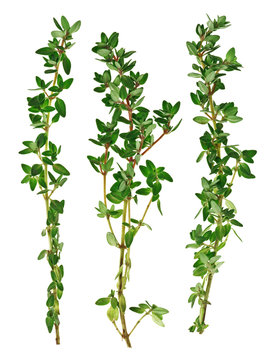Fresh green thyme twigs, isolated