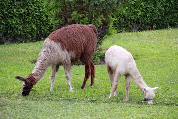 image of peruvian llama