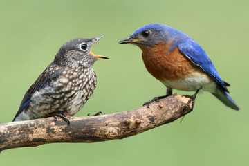 Fotoväggar - Male Eastern Bluebird With Baby