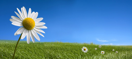 Photo sur Plexiglas Marguerites Picturesque summer landscape and daisy flowers