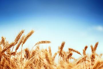 Fototapeta wheat obraz