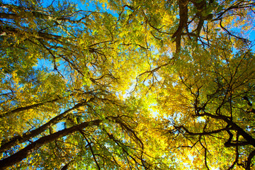 Sunlight goes through yellow and green leaves in autumn forest