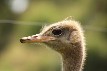 Avestruz. Struthio camelus.