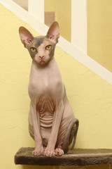 cat,chat,gatto,katze - sphynx