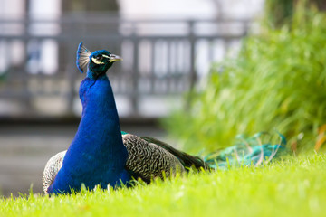 Male peacock sitting in the grass