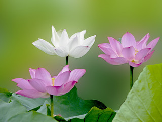 bloom lotus